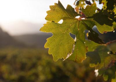 old-bush-vines3